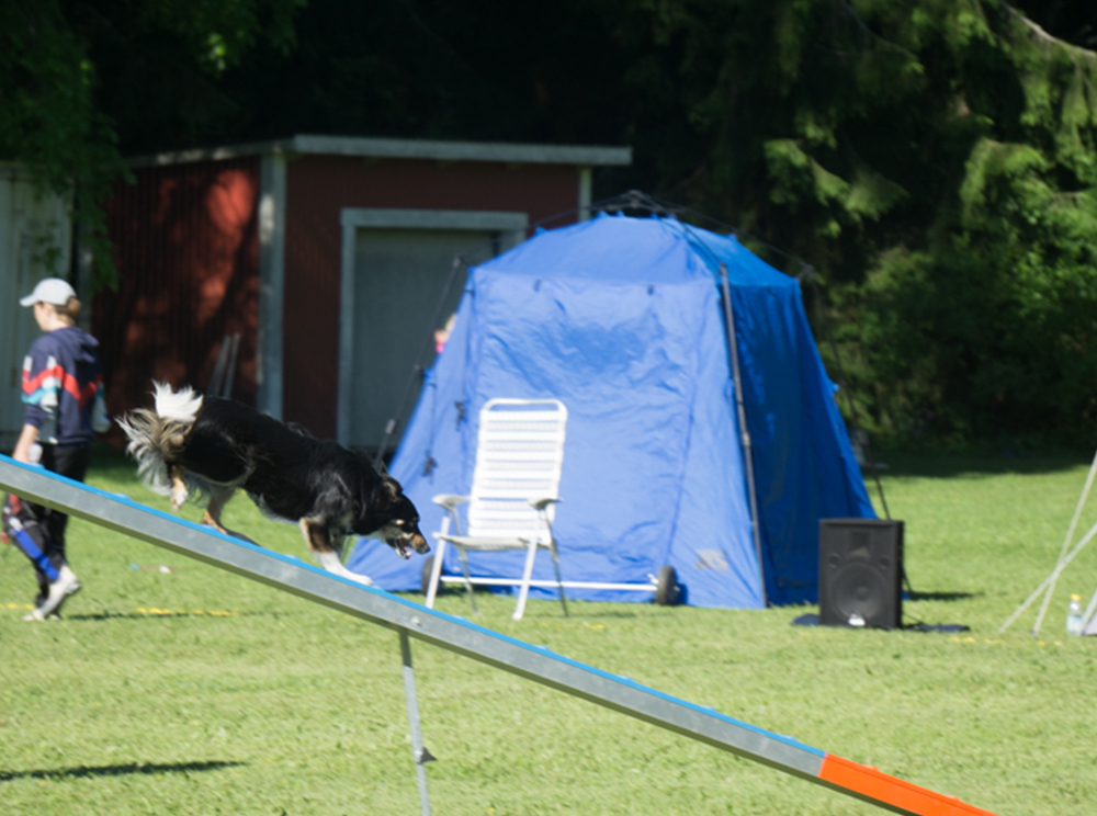 Agility - hund balanserar på balansbräda.